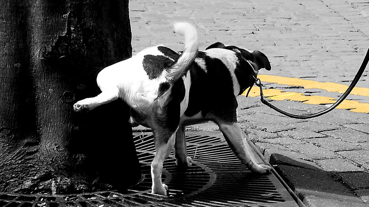 Dog Peeing - Photo by Farquois